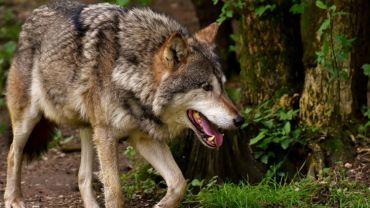 Powiat rybnicki: w lasach pojawiły się wilki