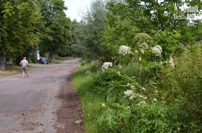 Barszcz Sosnowskiego rośnie tuż przy drodze i sąsiaduje z blokami