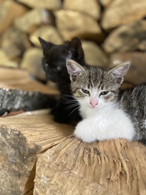 Oddam  małe koty za darmo