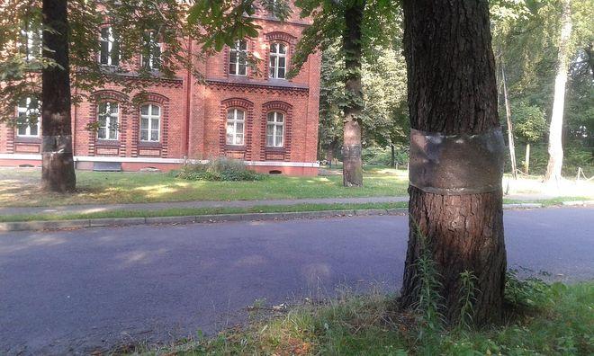 Ochronna folia na pniu kasztanowca chroniąca przed szkodnikami