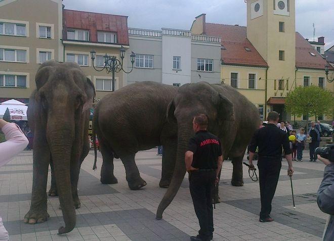 Zdjęcia ze spaceru słoni nadesłała nam nasza czytelniczka - pani Kasia.